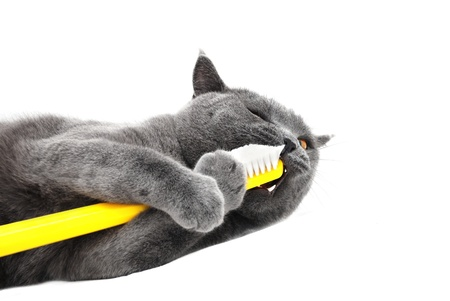 Stock Photo: British shorthair cat playing with toothbrush