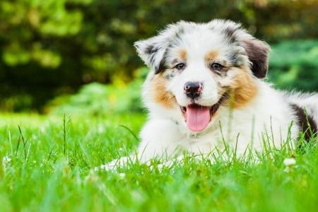 Photo pour Young puppy lying on fresh green grass in public park - image libre de droit