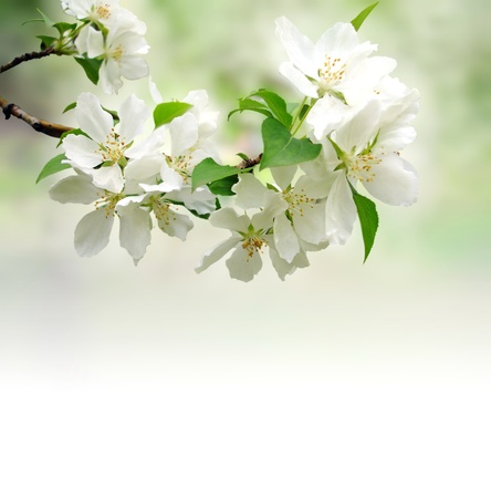 Photo for blossoming tree brunch - Royalty Free Image