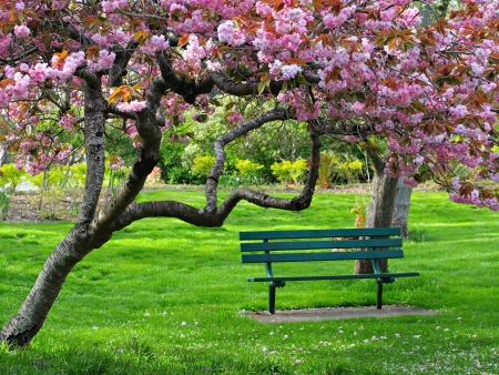 Bench in the park under the cherry bloom