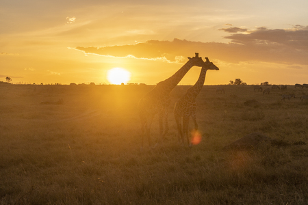 Photo for Silhouette of Male and female giraffe at sunset in Maasai Mara national park - Royalty Free Image