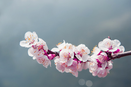 Photo pour Cherry Blossom with Soft focus, Sakura season Background - image libre de droit