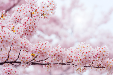 Photo for Cherry Blossom with Soft focus, Sakura season in korea,Background - Royalty Free Image