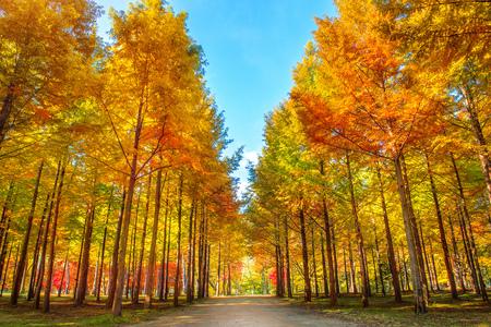 Foto de Autumn trees in Nami island, Korea. - Imagen libre de derechos