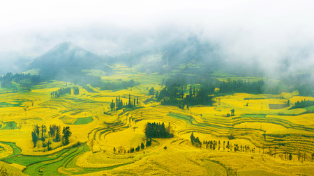 Photo for Canola field, rapeseed flower field with morning fog in Luoping, China. - Royalty Free Image