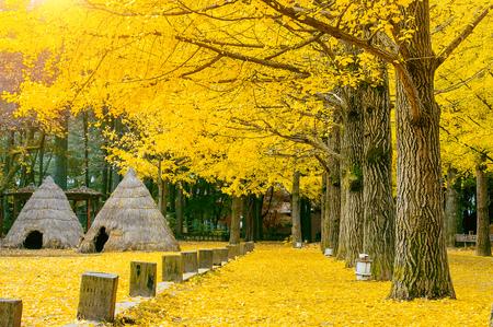 Photo pour Autumn with ginkgo tree in Nami Island, Korea. - image libre de droit
