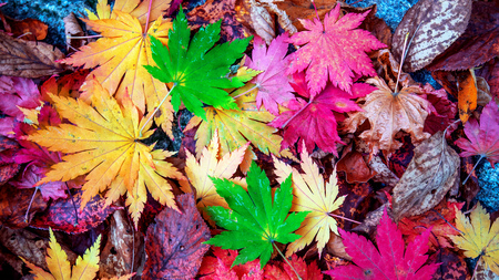 Photo for Colorful maple leaves in autumn. - Royalty Free Image