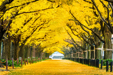 Photo for Row of yellow ginkgo tree in autumn. Autumn park in Tokyo, Japan. - Royalty Free Image