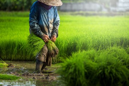 Photo for Farmers grow rice in the rainy season. They were soaked with water and mud to be prepared for planting. Farmer in thailand. - Royalty Free Image