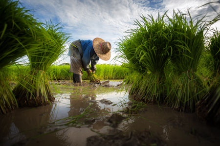 Foto de Farmers grow rice in the rainy season. They were soaked with water and mud to be prepared for planting. Farmer in thailand. - Imagen libre de derechos