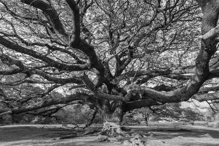 Foto de Black and white Giant tree - Imagen libre de derechos