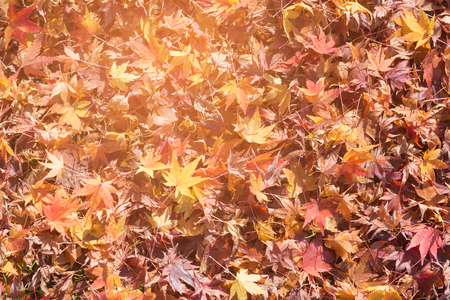 Photo for Fallen red maple leaves on ground, autumn season natural landscape background - Royalty Free Image