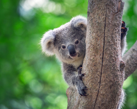 Photo pour Baby koala  bears on the tree. - image libre de droit
