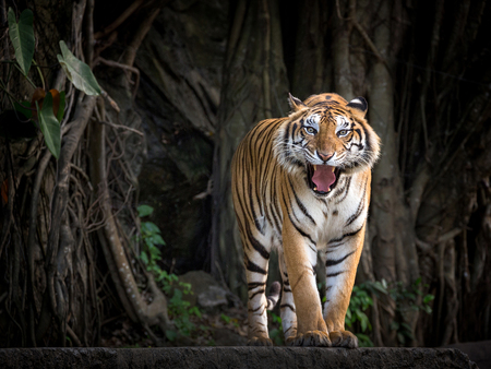 Photo pour Sumatran tiger standing in a forest atmosphere. - image libre de droit
