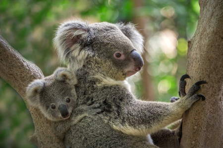 Photo pour Mother and baby koala on a tree in natural atmosphere. - image libre de droit