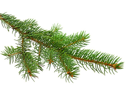 Photo pour Branch of Christmas tree on white background - image libre de droit