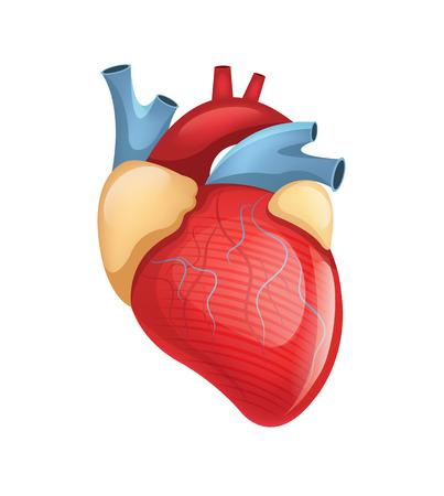 Illustrazione per Vector human heart illustration - Immagini Royalty Free