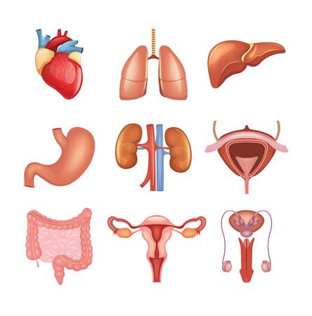 Illustration pour Vector internal organs icon set - image libre de droit