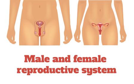 Illustration pour Man and woman reproductive system. Vector illustration - image libre de droit