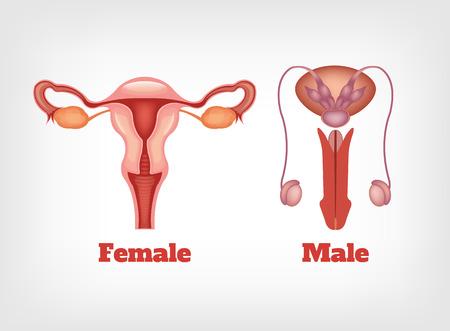 Ilustración de Man and woman reproductive system. Vector icon set - Imagen libre de derechos