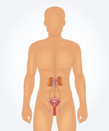 Illustration pour Male reproductive system. Vector realistic illustration - image libre de droit