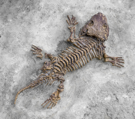 Photo for fossil closeup of a reptile-like animal named Seymouria seen from above - Royalty Free Image