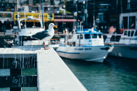 Foto de Seagull in port standing on the wooden white handrail resting. fishing boats and yachts moored in the background on the clean water in pier 39 san francisco america. wild freedom lifestyle seabird. - Imagen libre de derechos