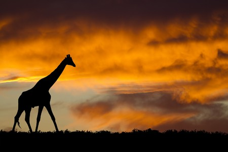 Photo for Idyllic african wildlife silhouette - Royalty Free Image