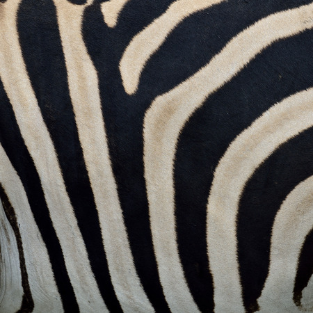 Seamless Zebra Skin Pattern as the very interesting texture mural