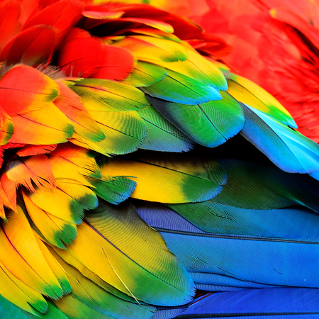 Photo for Red Yellow and Blue feathers of Scarlet Macaw bird with beautiful colors profile - Royalty Free Image
