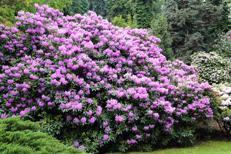 Photo pour Beautiful Rhododendron Flower Bushes and Trees in a  Garden Landscape  - image libre de droit