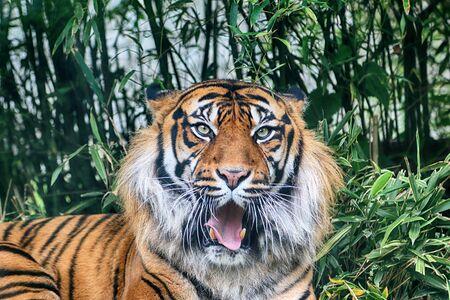 Photo pour The Sumatran tiger (Panthera tigris sumatrae) in the Indonesian island of Sumatra. - image libre de droit