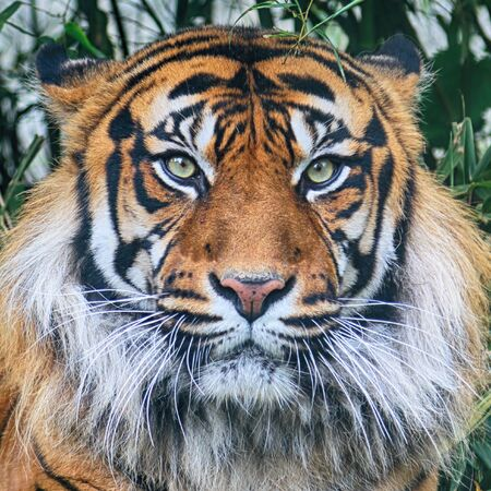 Photo pour The Sumatran tiger (Panthera tigris sumatrae) in the Indonesian island of Sumatra. - image libre de droit