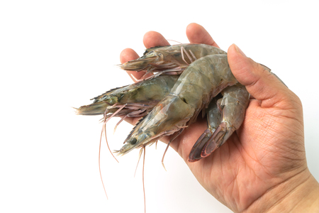 Photo pour The hands of men are holding group of fresh raw pacific white shrimp on white background. - image libre de droit