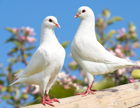 Photo for two white pigeon on flowering background  imperial pigeon  ducula - Royalty Free Image