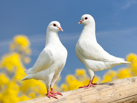 Photo for Beautiful view of two white pigeons on perch with yellow flowering background, imperial pigeon, ducula - Royalty Free Image