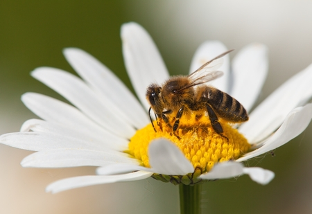 Photo for detail of bee or honeybee in Latin Apis Mellifera, european or western honey bee sitting on white flower of common daisy - Royalty Free Image