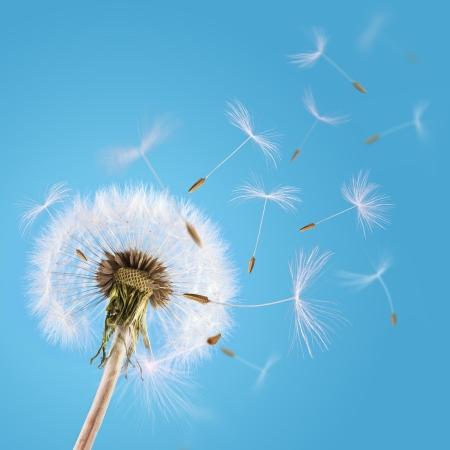 Foto de Overblown dandelion with seeds flying away with the wind - Imagen libre de derechos