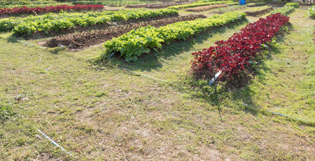 Agricultural industry. Growing organic vegetable on field