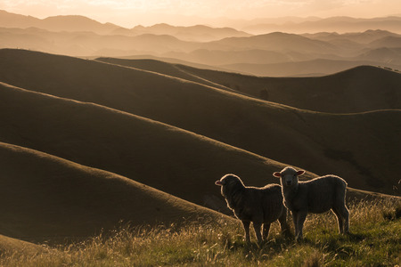 Photo pour backlit sheep grazing on Wither Hills - image libre de droit