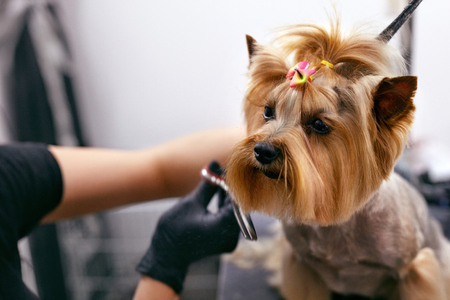 Photo pour Dog Gets Hair Cut At Pet Spa Grooming Salon. Closeup Of Dog Face While Groomer Cutting Hair With Scissors. High Resolution - image libre de droit