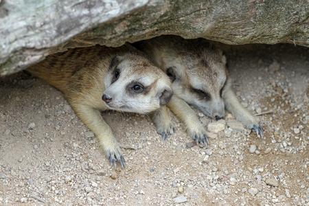 Photo pour The Suricata suricatta or meerkat in cave - image libre de droit