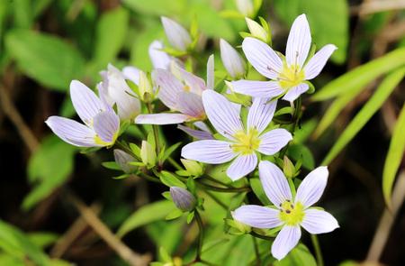 Foto de Swertia purple flower in Chiang Dao - Imagen libre de derechos