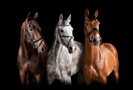 Photo pour Three horses with bridle against black background - image libre de droit