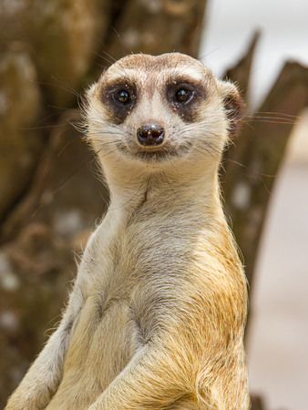 Photo for Meerkat in safari with blur background - Royalty Free Image