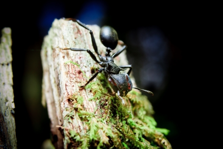 Photo pour Bullet Ants in the Amazon  the most painful and dangerous stinging insect in the WORLD  - image libre de droit