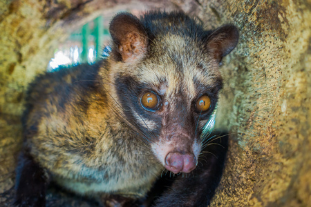 Photo pour The animal civet is used for the production of expensive most gourmet coffee Kopi Luwak, in Bali Indonesia - image libre de droit