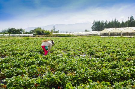 Foto de Outdoor view of worker picking strawberries in a plantation field - Imagen libre de derechos