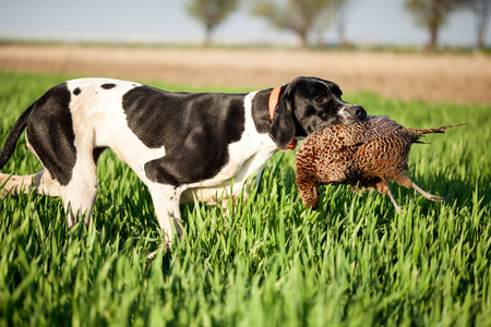 english pointer dog,hunted pheasants and carrying boss