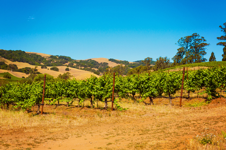 Photo pour Californian vineyard landscape in Napa Valley in summertime - image libre de droit